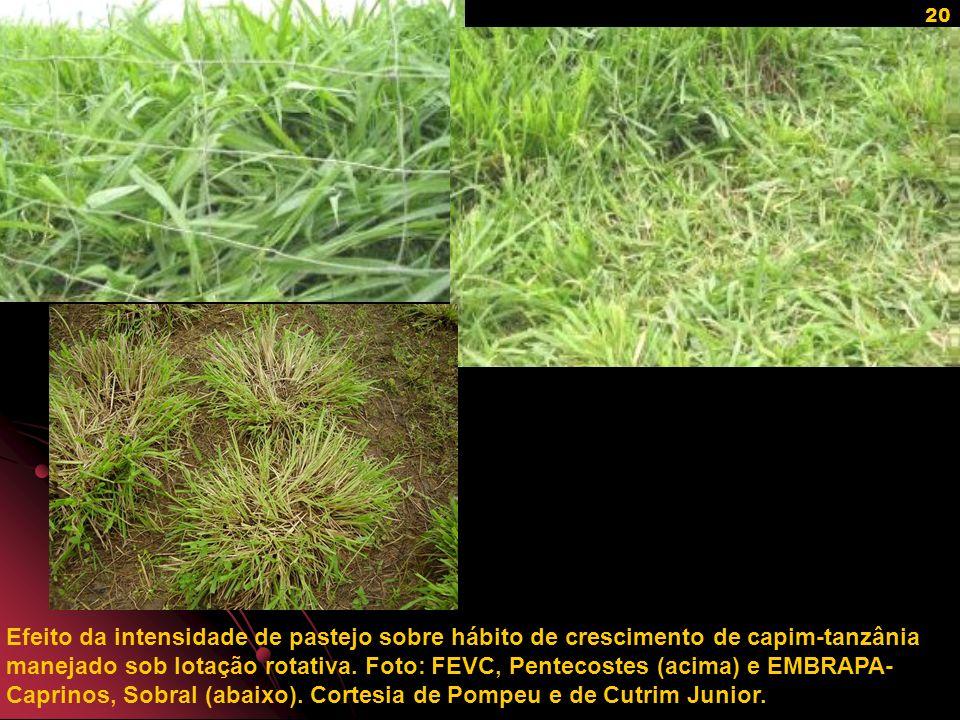 Efeito da intensidade de pastejo sobre hábito de crescimento de capim-tanzânia manejado sob lotação rotativa.