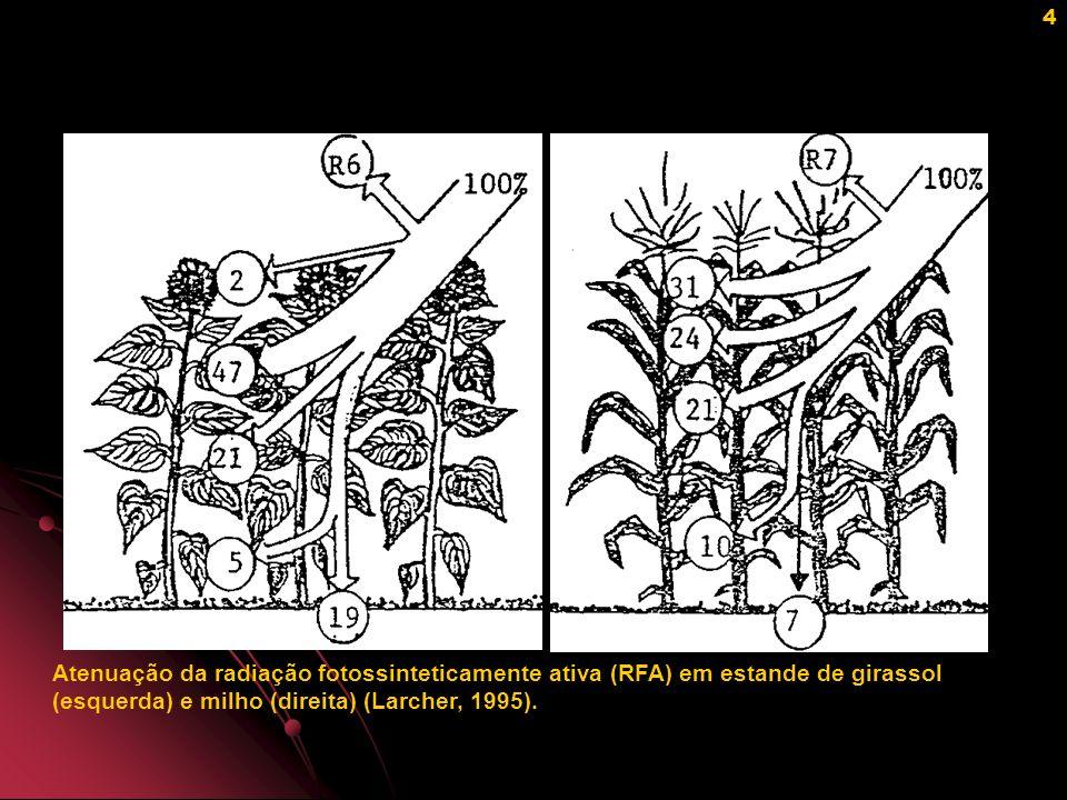 Atenuação da radiação fotossinteticamente ativa (RFA) em estande de girassol (esquerda) e milho (direita) (Larcher, 1995).
