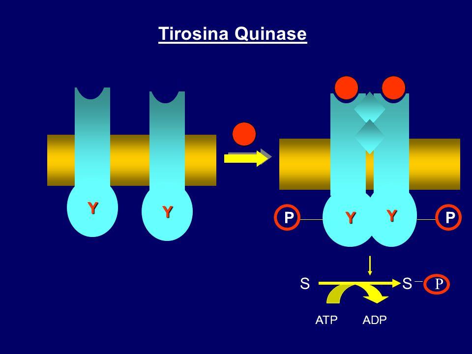 Tirosina Quinase Y P Y Y S P ATP ADP