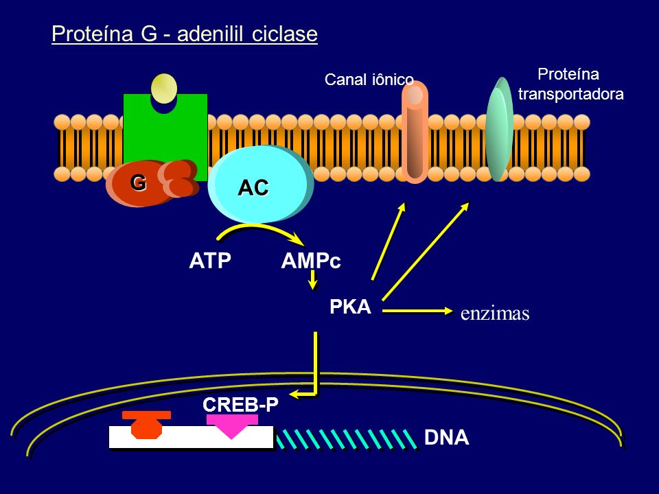 Proteína G - adenilil ciclase