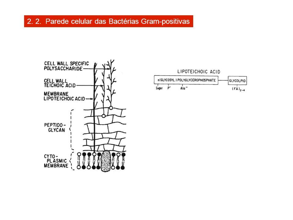2. 2. Parede celular das Bactérias Gram-positivas