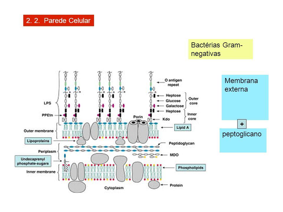 2. 2. Parede Celular Bactérias Gram-negativas Membrana externa + peptoglicano