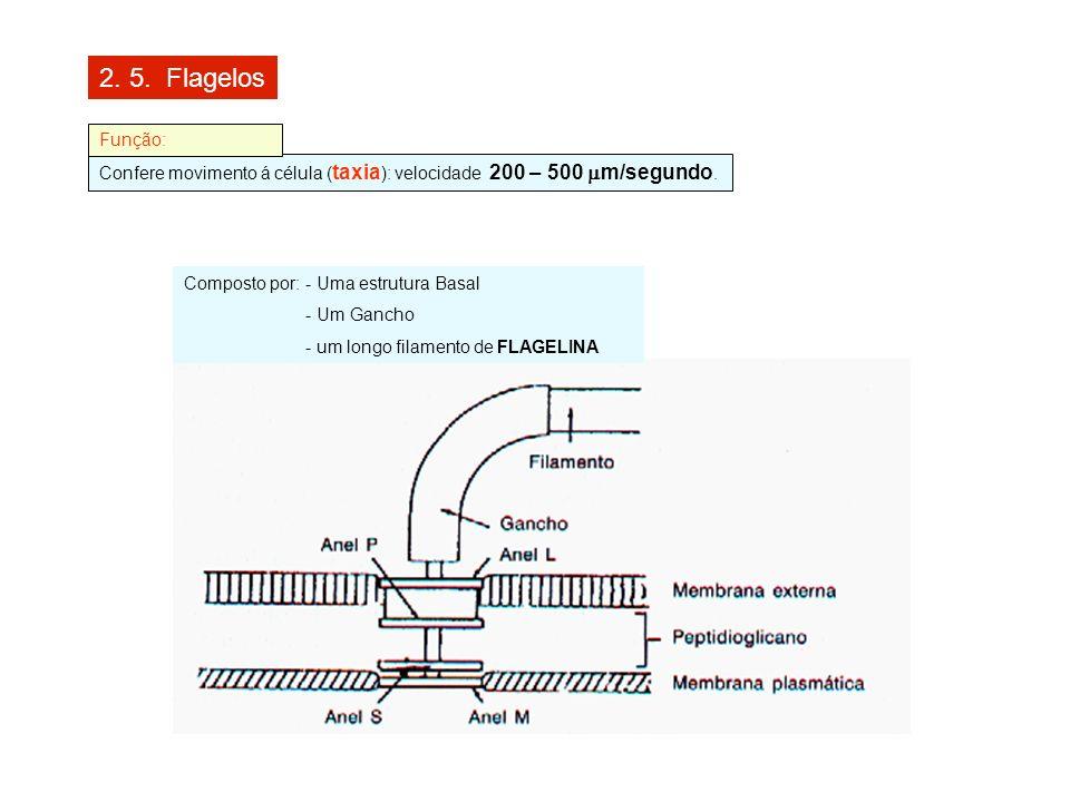 2. 5. Flagelos Função: Confere movimento á célula (taxia): velocidade 200 – 500 mm/segundo. Composto por: - Uma estrutura Basal.