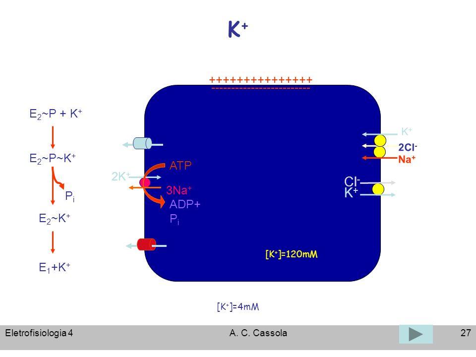 K+ Cl- K+ +++++++++++++++ ------------------------- E2~P + K+ E2~P~K+