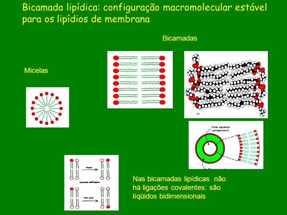 Bicamada lipídica: configuração macromolecular estável para os lipídios de membrana