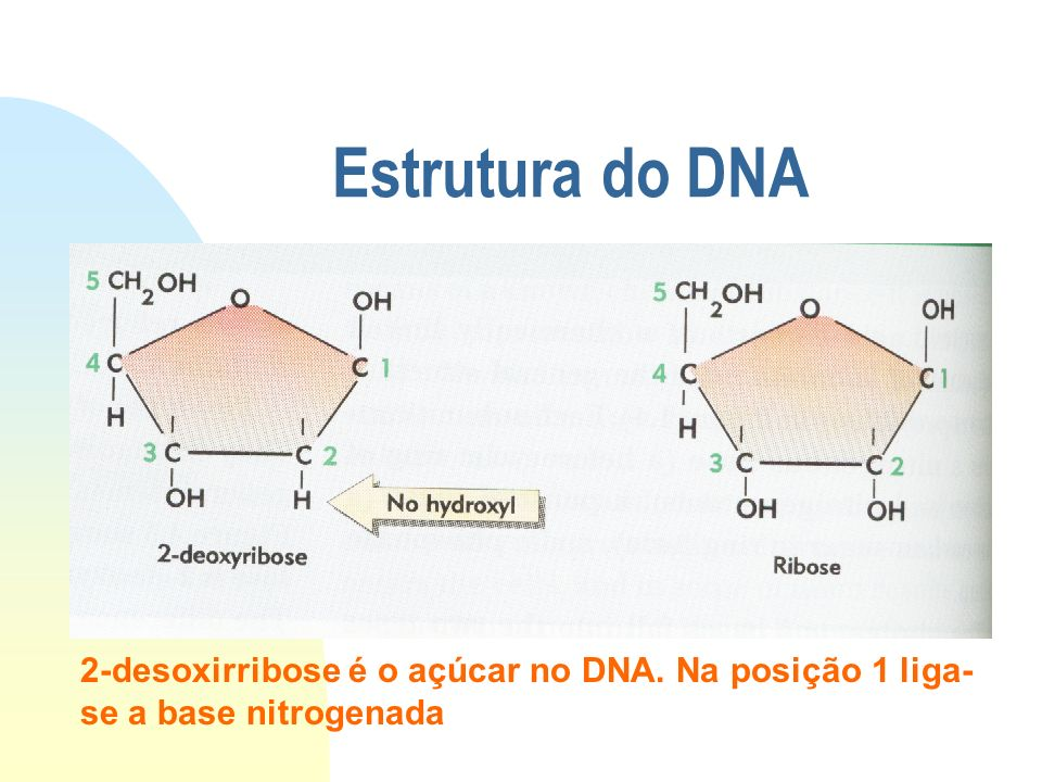 Estrutura do DNA 2-desoxirribose é o açúcar no DNA. Na posição 1 liga-se a base nitrogenada