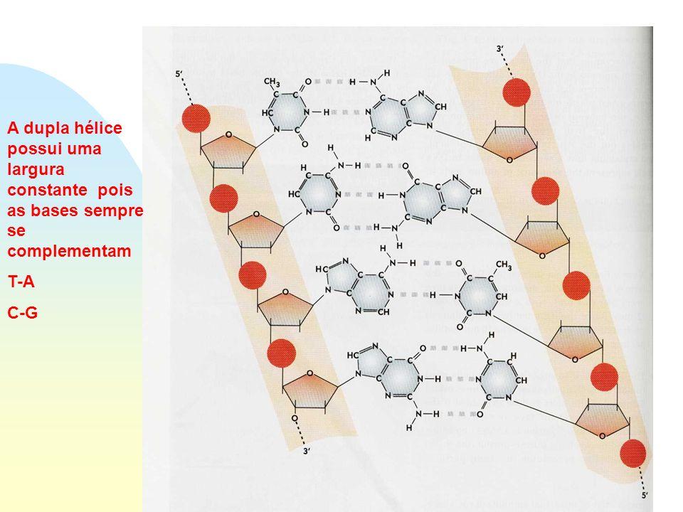 Estrutura do DNA A dupla hélice possui uma largura constante pois as bases sempre se complementam.