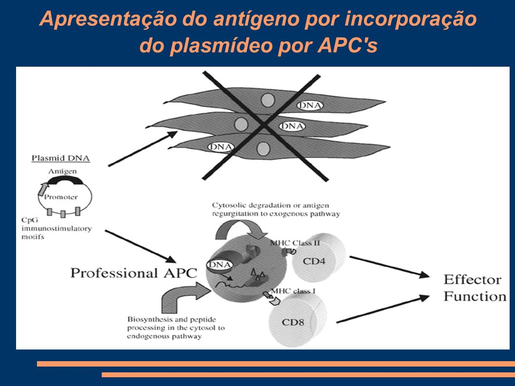 Apresentação do antígeno por incorporação do plasmídeo por APC s