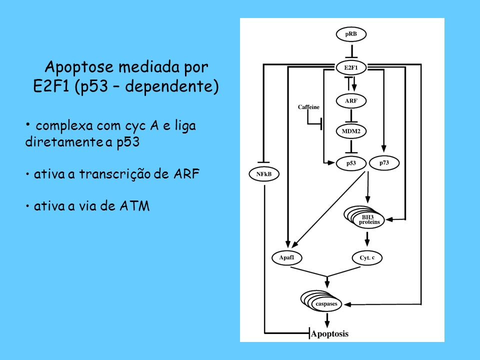 Apoptose mediada por E2F1 (p53 – dependente)