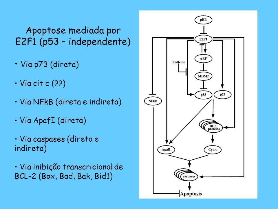 Apoptose mediada por E2F1 (p53 – independente)