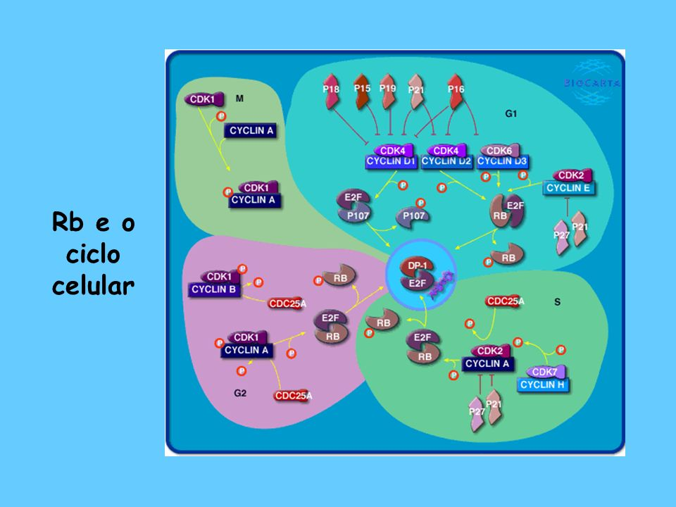 Rb e o ciclo celular