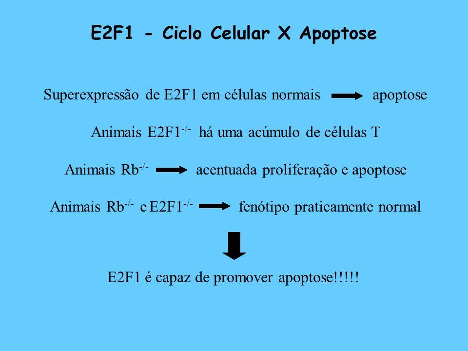 E2F1 - Ciclo Celular X Apoptose