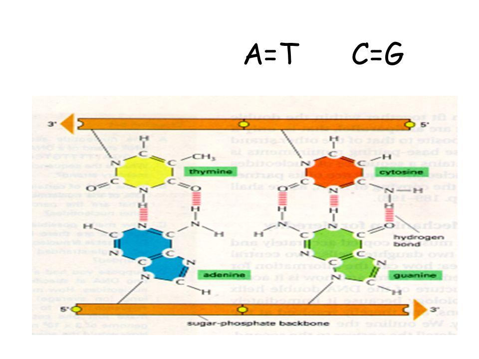 A=T C=G