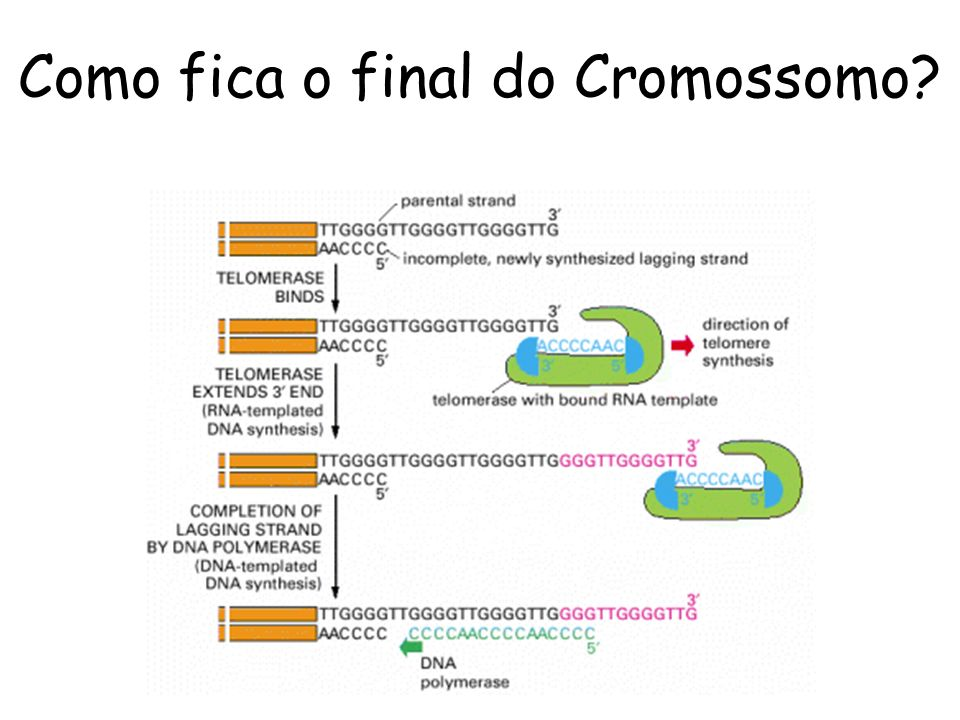 Como fica o final do Cromossomo