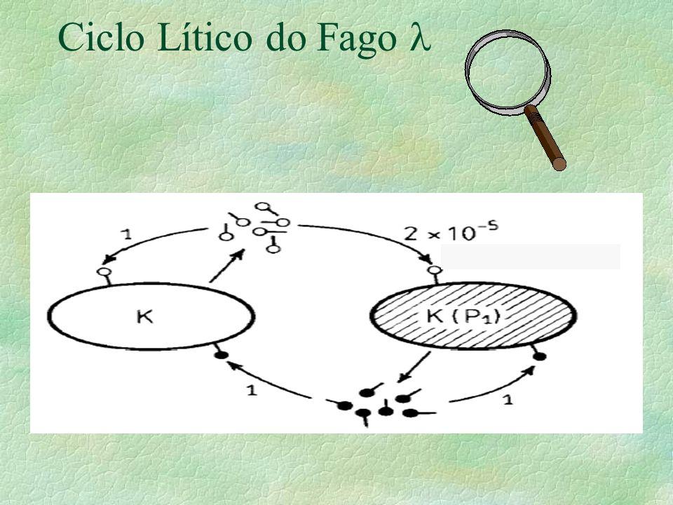 Ciclo Lítico do Fago l