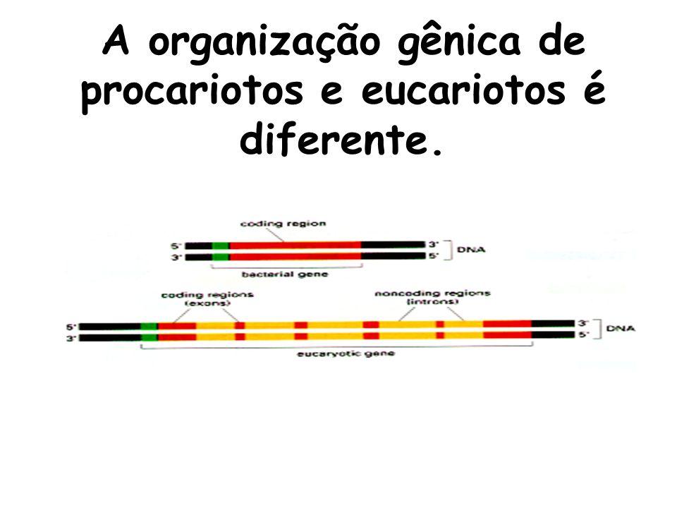 A organização gênica de procariotos e eucariotos é diferente.