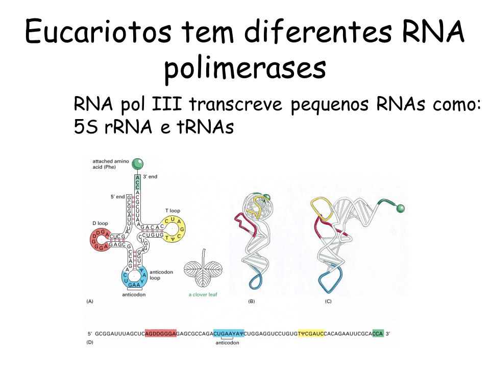 Eucariotos tem diferentes RNA polimerases