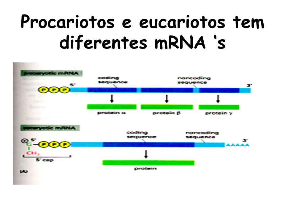 Procariotos e eucariotos tem diferentes mRNA 's