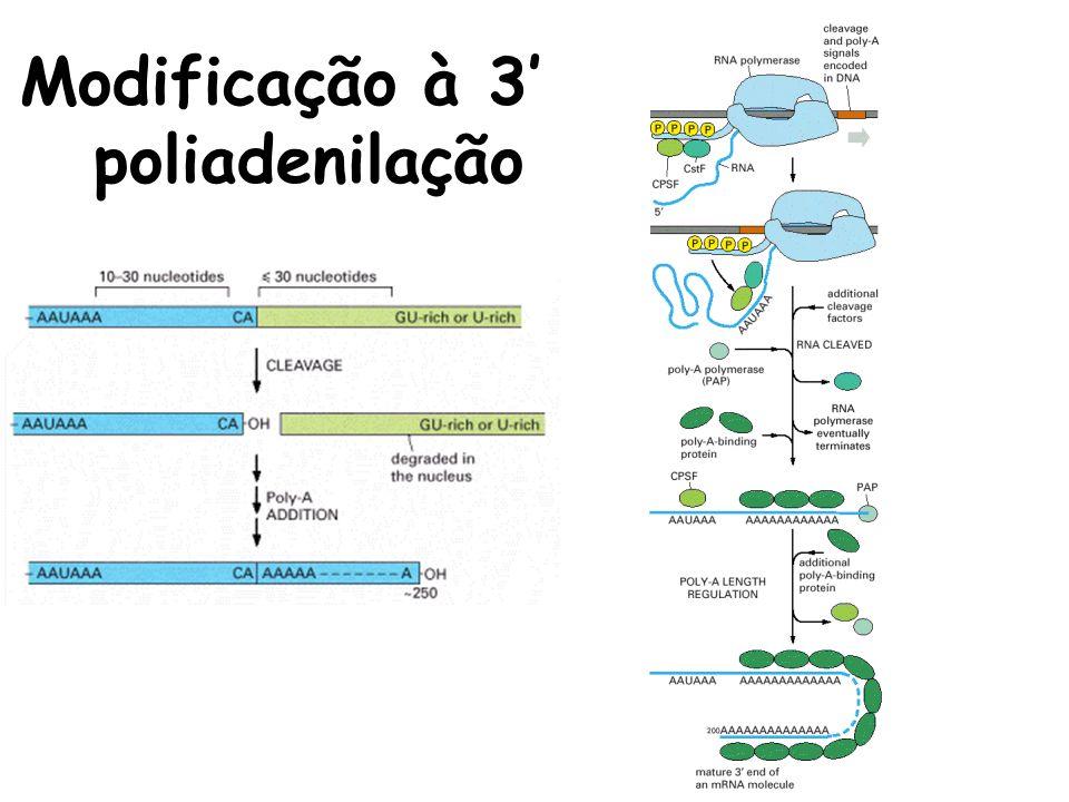 Modificação à 3' poliadenilação