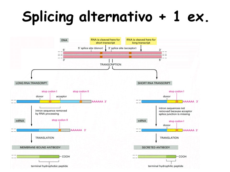 Splicing alternativo + 1 ex.