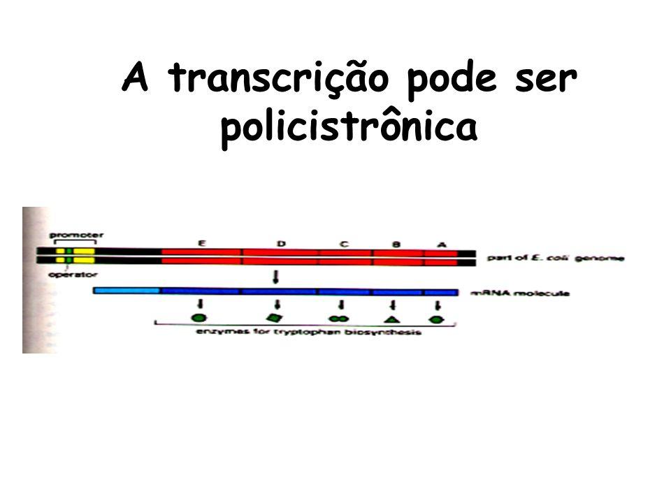 A transcrição pode ser policistrônica