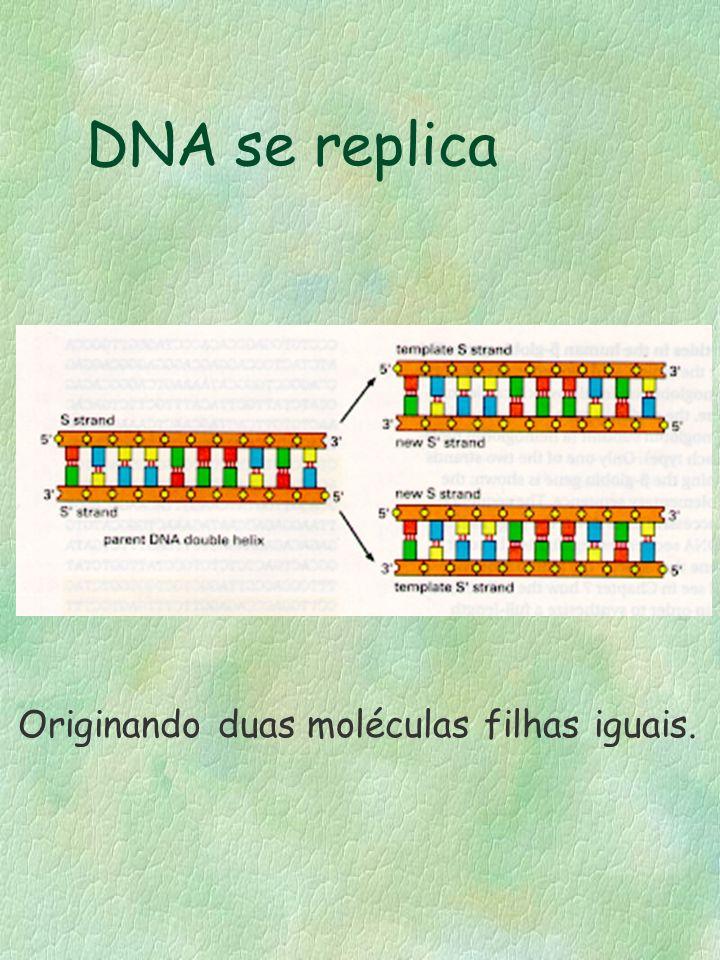 DNA se replica Originando duas moléculas filhas iguais.