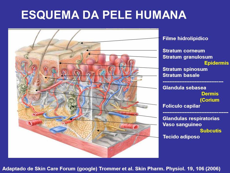 ESQUEMA DA PELE HUMANA Filme hidrolipidico Stratum corneum