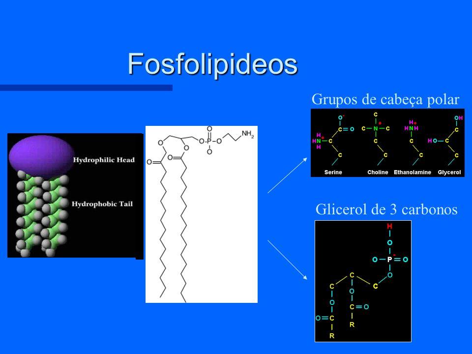 Fosfolipideos Grupos de cabeça polar Glicerol de 3 carbonos