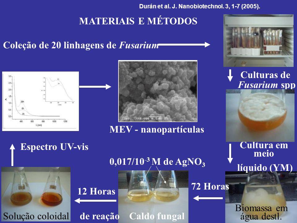 Culturas de Fusarium spp Cultura em meio líquido (YM)