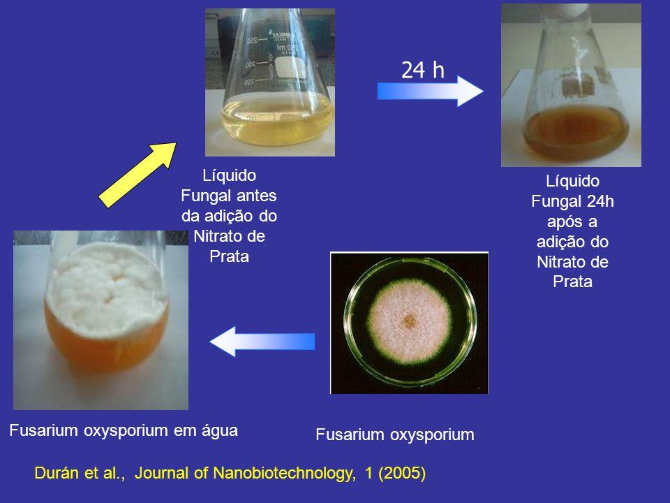 24 h Líquido Fungal antes da adição do Nitrato de Prata
