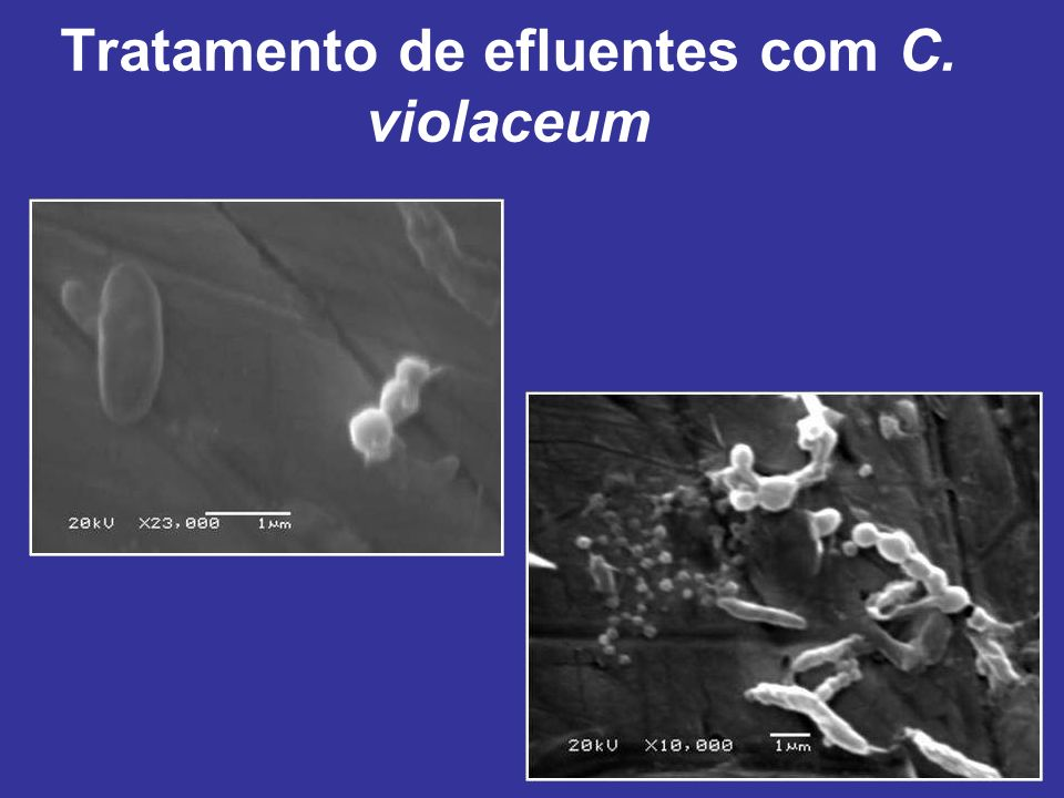 Tratamento de efluentes com C. violaceum