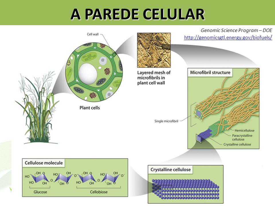 A PAREDE CELULAR Genomic Science Program – DOE