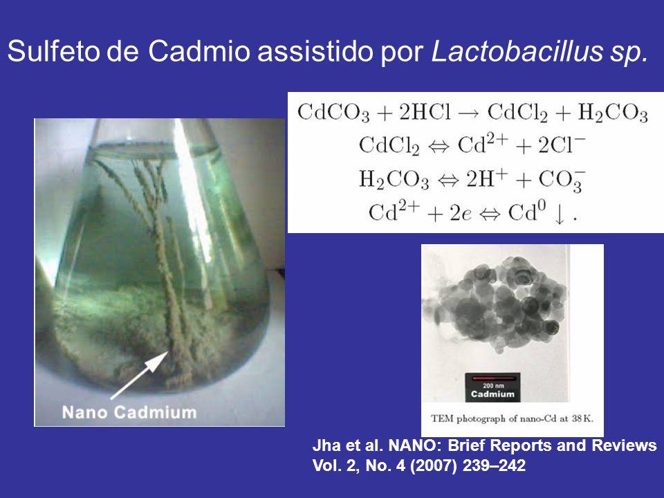 Sulfeto de Cadmio assistido por Lactobacillus sp.