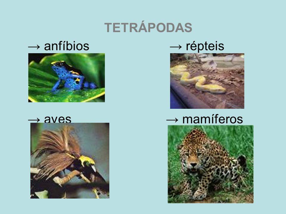 TETRÁPODAS → anfíbios → répteis → aves → mamíferos