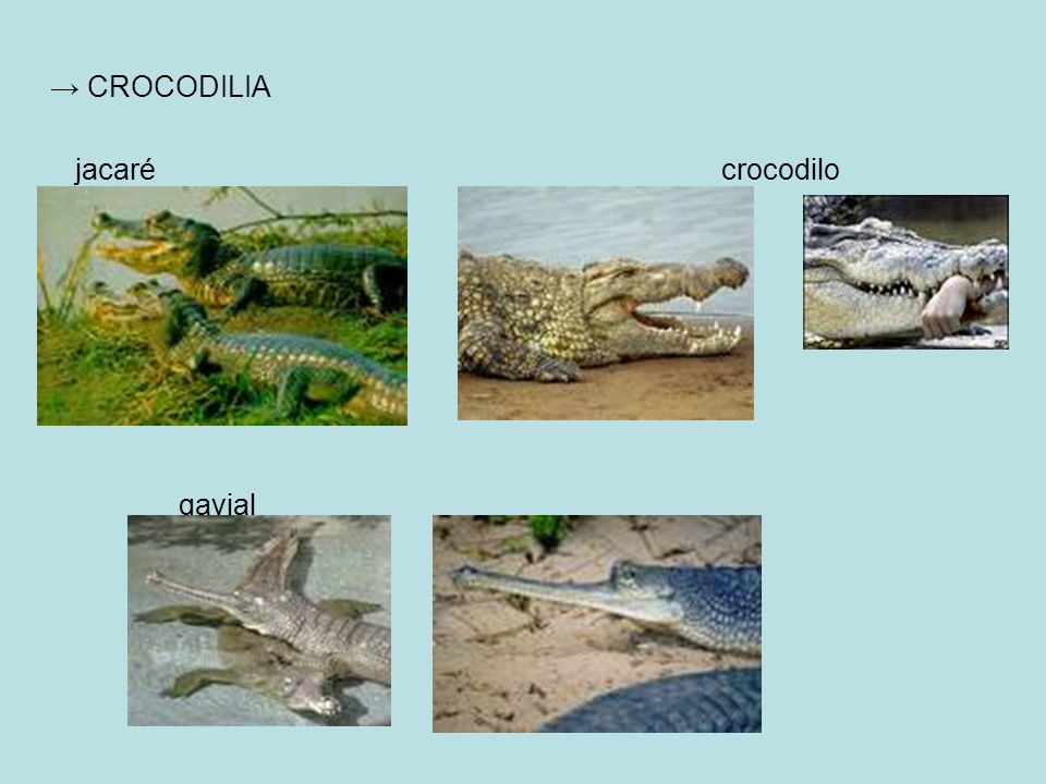 → CROCODILIA jacaré crocodilo.