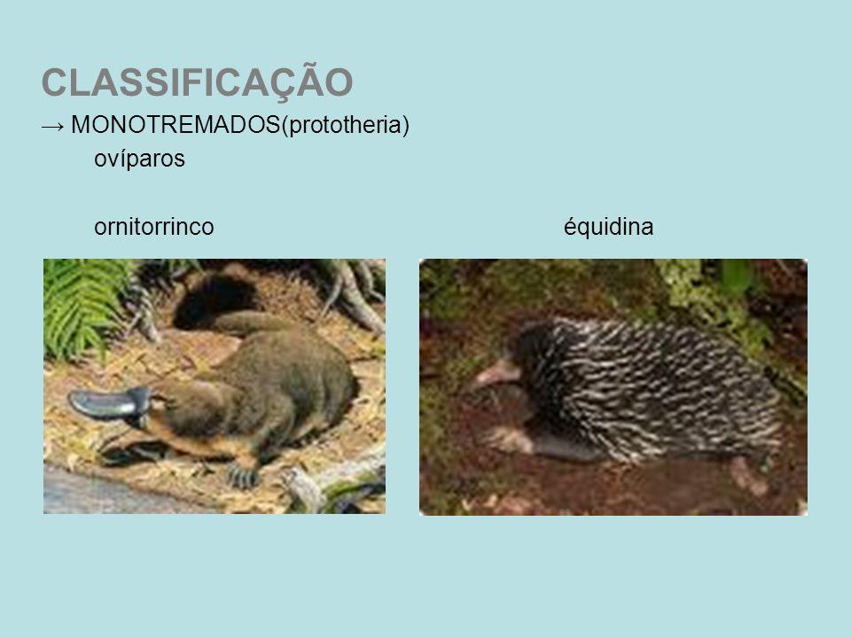 CLASSIFICAÇÃO → MONOTREMADOS(prototheria) ovíparos