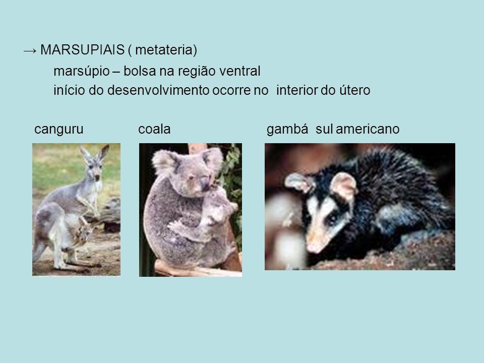 → MARSUPIAIS ( metateria)