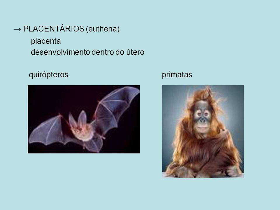 → PLACENTÁRIOS (eutheria)