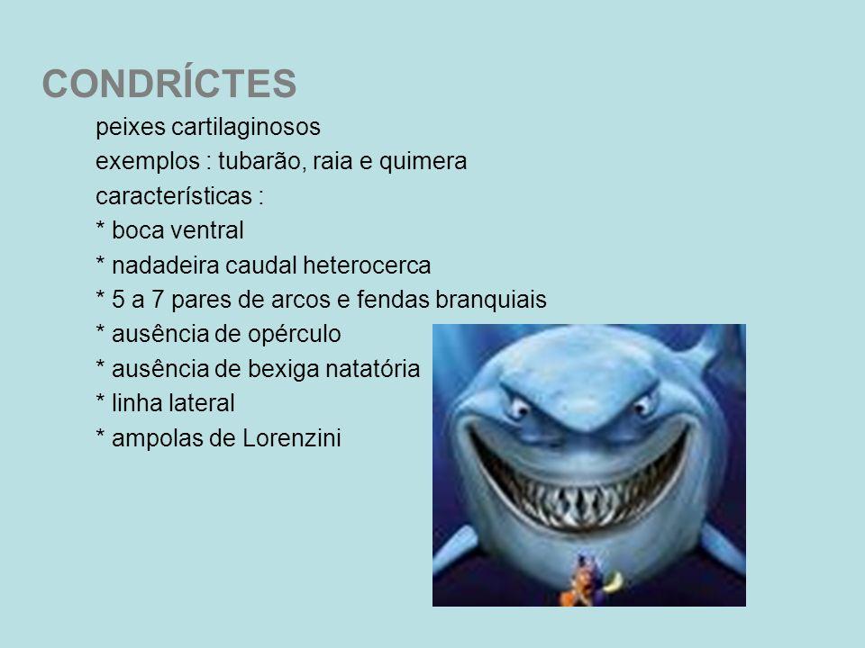 CONDRÍCTES peixes cartilaginosos exemplos : tubarão, raia e quimera