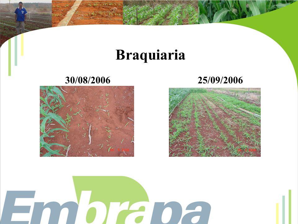 Braquiaria 30/08/2006 25/09/2006