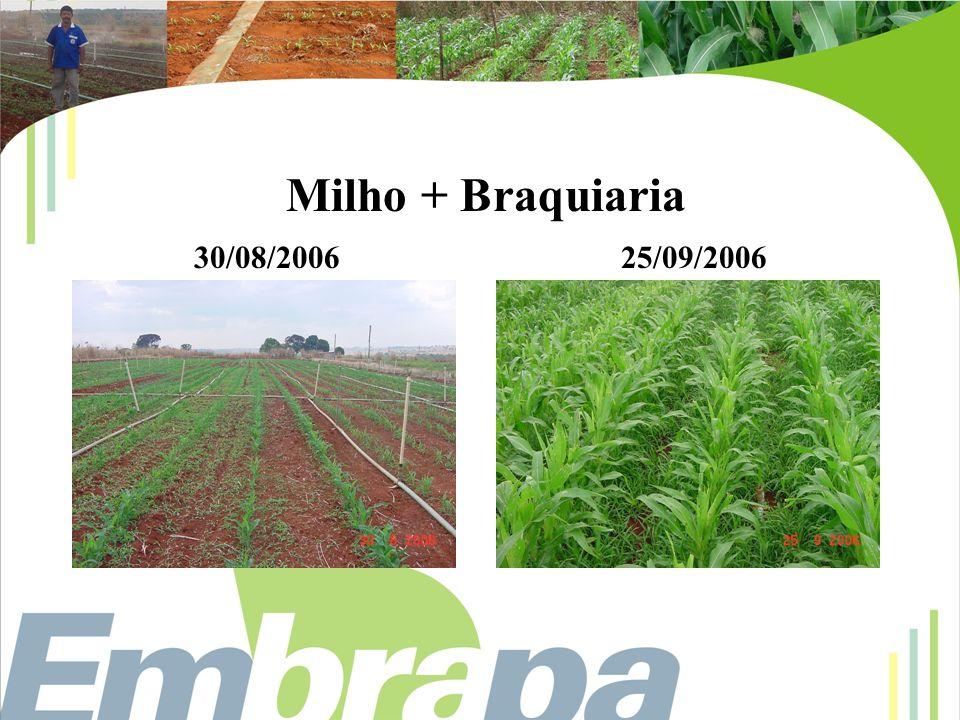 Milho + Braquiaria 30/08/2006 25/09/2006
