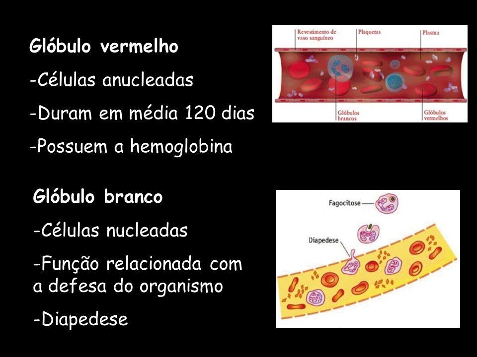 Glóbulo vermelho Células anucleadas. Duram em média 120 dias. Possuem a hemoglobina. Glóbulo branco.