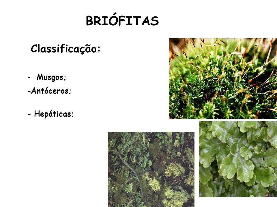BRIÓFITAS Classificação: - Musgos; Antóceros; Hepáticas;