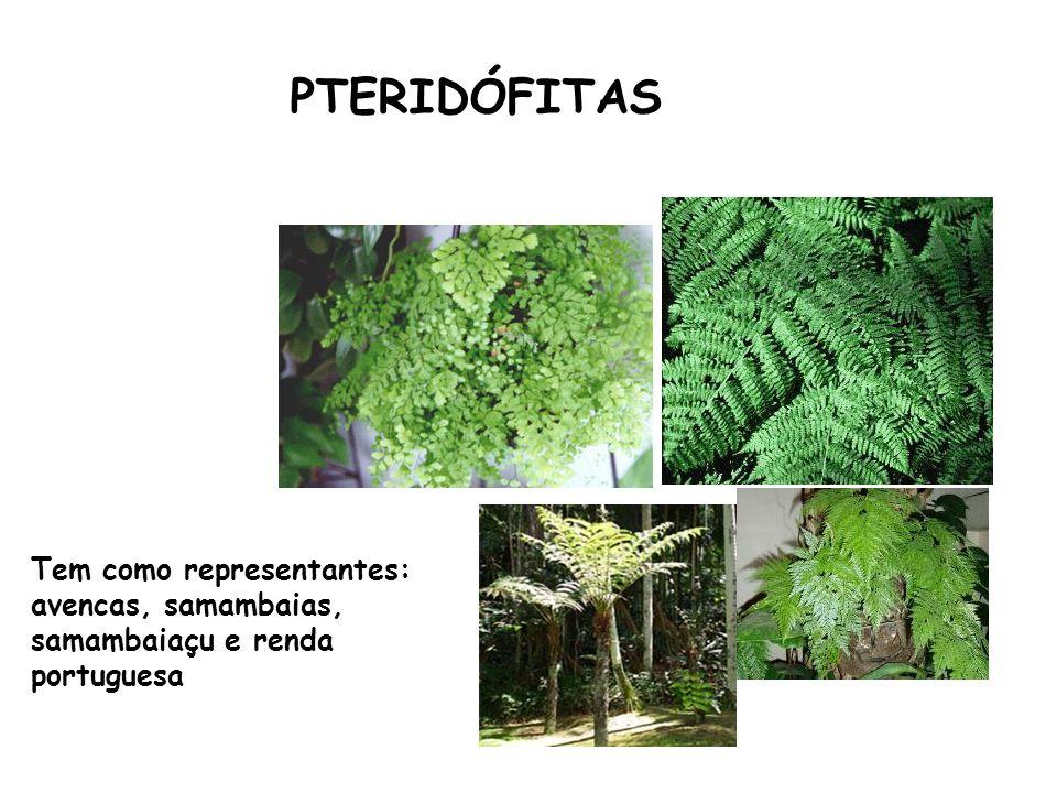 PTERIDÓFITAS Tem como representantes: avencas, samambaias, samambaiaçu e renda portuguesa
