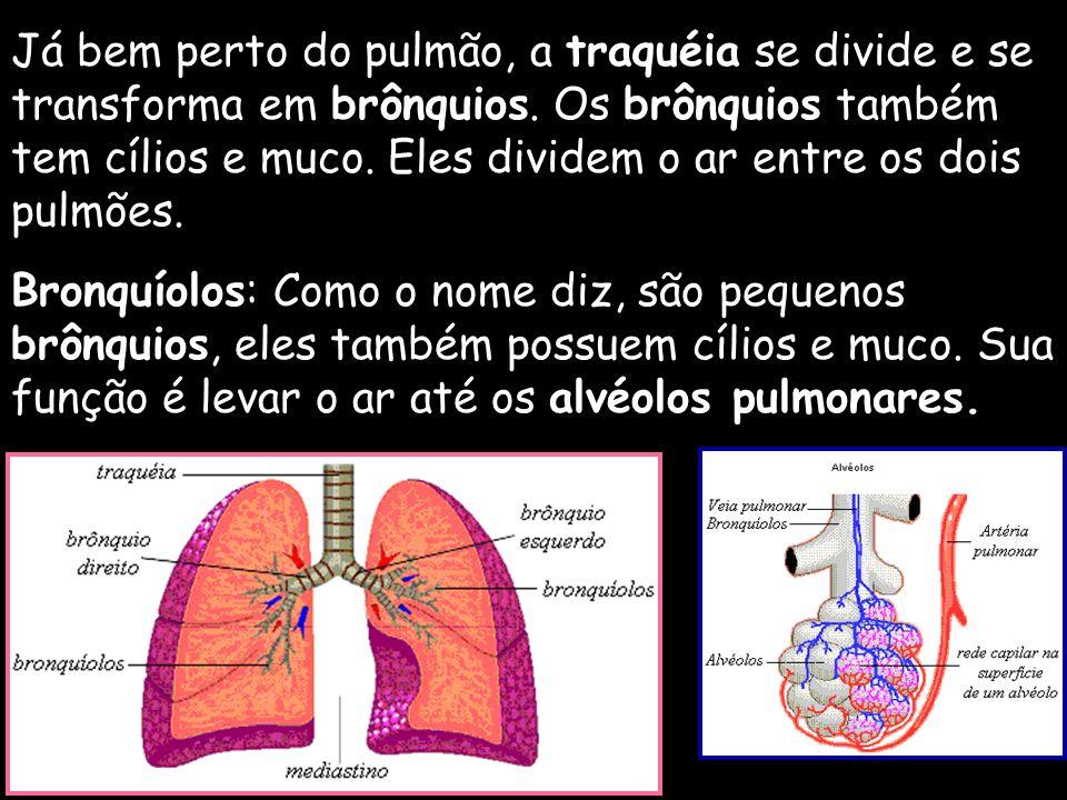 Já bem perto do pulmão, a traquéia se divide e se transforma em brônquios. Os brônquios também tem cílios e muco. Eles dividem o ar entre os dois pulmões.