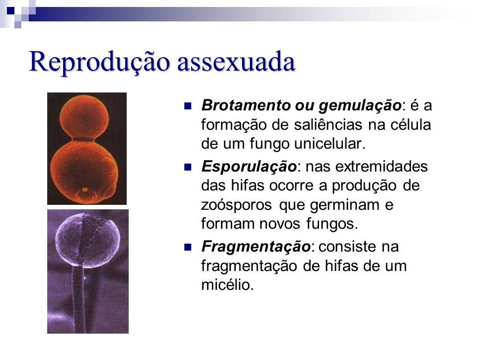 Reprodução assexuada Brotamento ou gemulação: é a formação de saliências na célula de um fungo unicelular.
