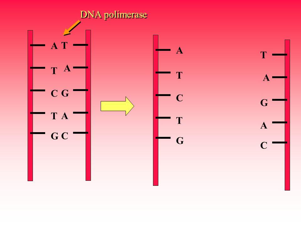 DNA polimerase A T C G T A G C A T C G T A G C