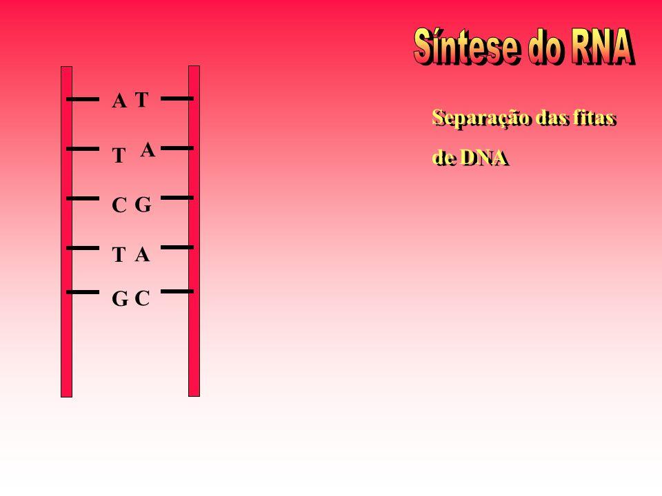 Síntese do RNA A T C G T A G C Separação das fitas de DNA