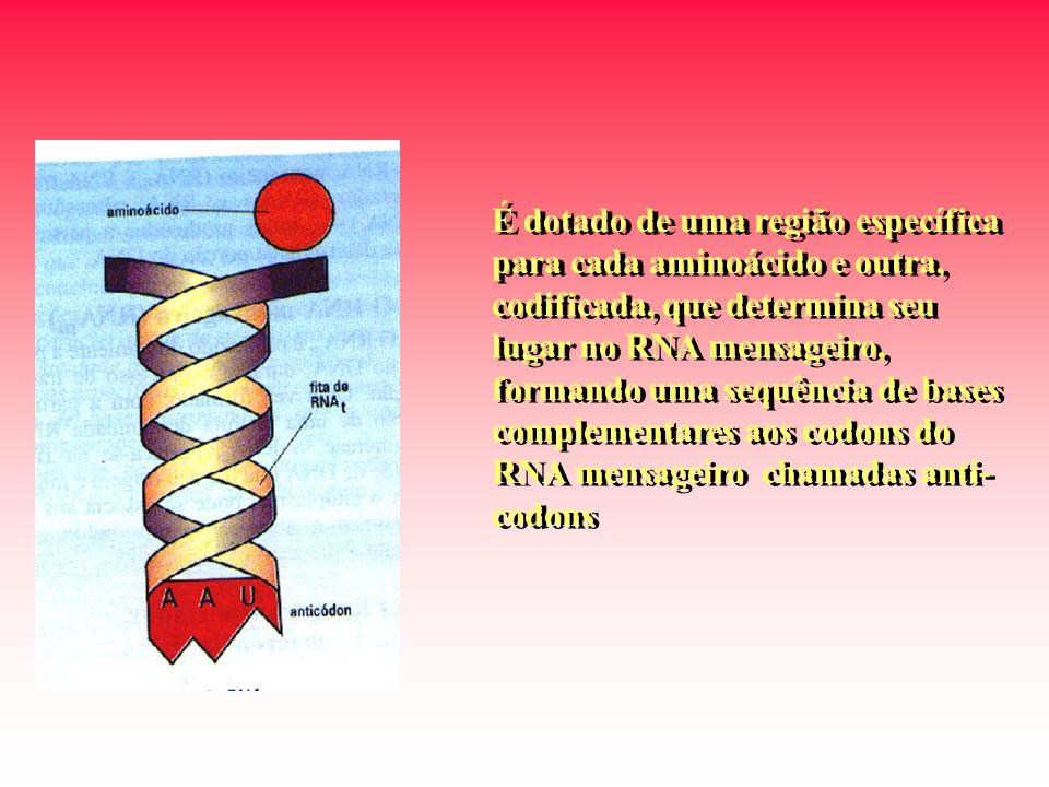 É dotado de uma região específica para cada aminoácido e outra, codificada, que determina seu lugar no RNA mensageiro, formando uma sequência de bases complementares aos codons do RNA mensageiro chamadas anti-codons