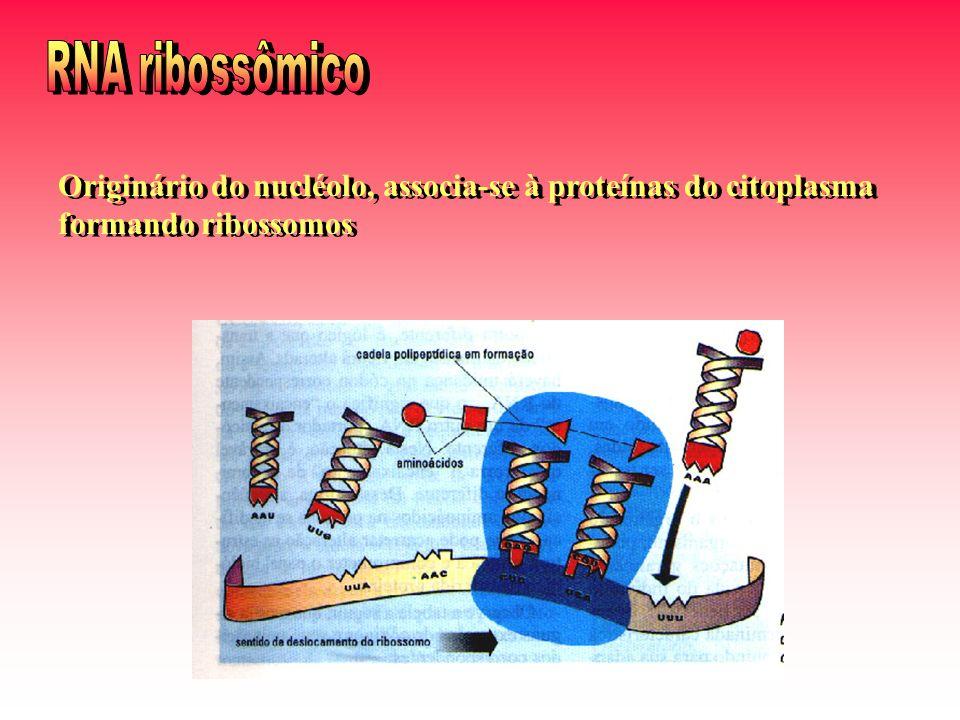 RNA ribossômico Originário do nucléolo, associa-se à proteínas do citoplasma formando ribossomos
